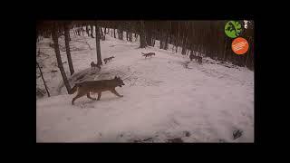 Parco nazionale Foreste Casentinesi: Lupi nella neve in attività di marcatura