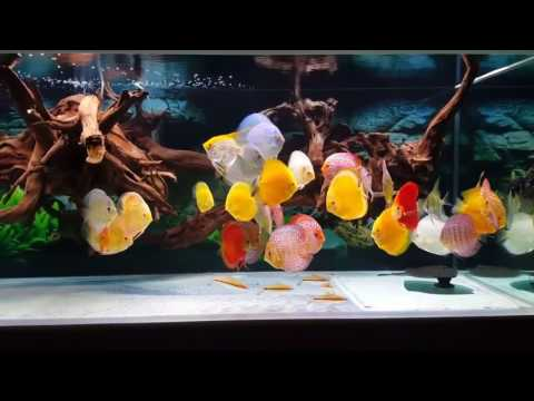 Most Beautiful Discus Fish Tank