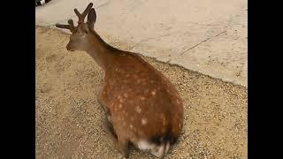 일본 교토 여행 사슴공원