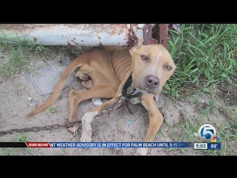 Man on trial for allegedly starving pit bull