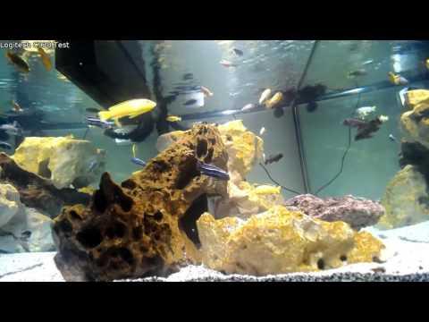 120G Mbuna Cichlid & 60G Saltwater Live Stream
