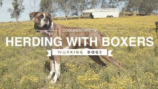 HERDING WITH BOXER DOGS DOCUMENTARY