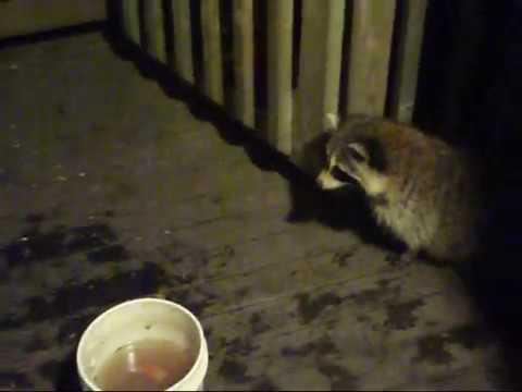Four Baby Raccoon - 26 June 17