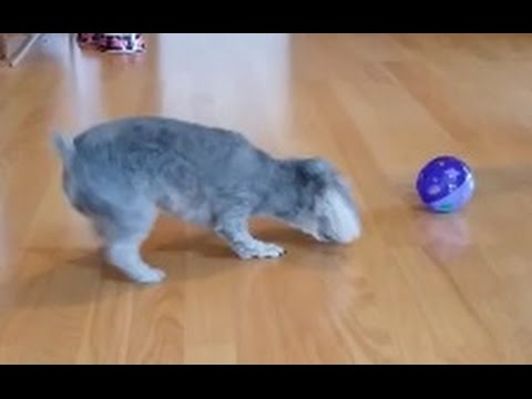 Funny!  dog scared by cat toy