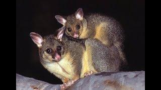 Common Brushtail Possum - Kitchen Raider from Australia
