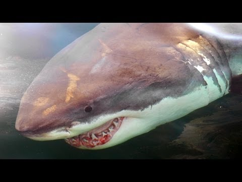 Great white shark population grows: Should beach-goers worry?