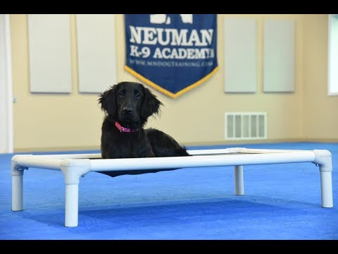 Magic (Flat Coated Retriever) Puppy Camp Dog Training Video Demonstration