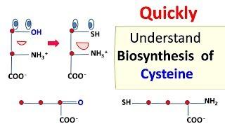 Cysteine biosynthesis