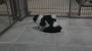Panda and Oreo, AKC Pomeranians Playing