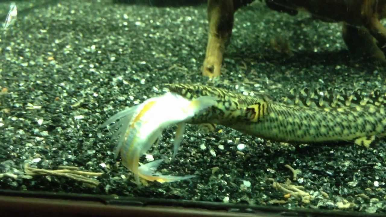 ORNATE BICHIR SWALLOW KOI FISH YouTube