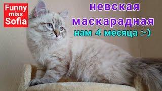 Кошка Софии, невская маскарадная кошка. Котенок невской маскарадной