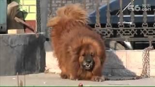 Repeat youtube video the dearest chinese Tibetan Mastiff 1500,000USD
