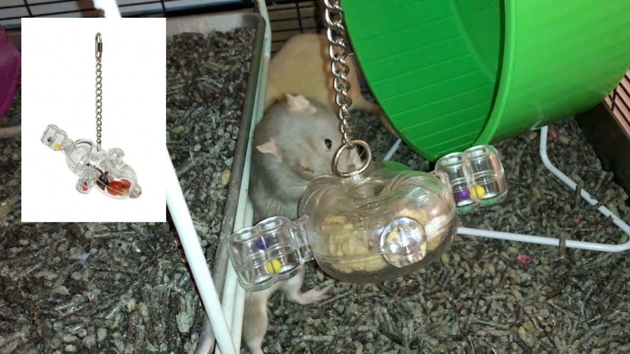Rat Foraging Friday #24