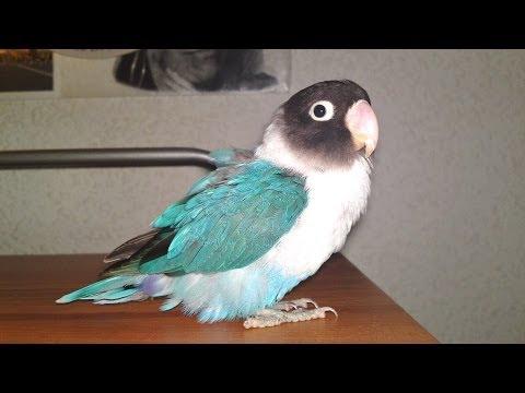 MUTACION ANIMAL agaporni AZUL - lovebirds blue MUTATION (agapornis personata cobalto)