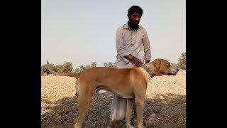 Saleem Wattu da Desi Bulli Kutta MOTTI! Bahawal Nagar Punjab