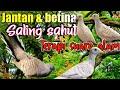 Suara Perkutut Betina Dan Jantan Saling Sahut Di Alam Solusi Perkutut Malas Bunyi  Mp3 - Mp4 Download