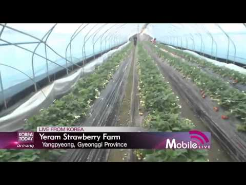 Korea Today - LIVE FROM KOREA 2 - Yeram Strawberry Farm