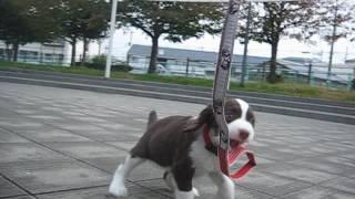 スプリンガー愛生、お散歩公園で遊んでいます。