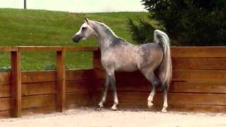 The Quiet Man EQ 2007 Arabian Stallion