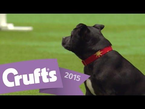 East Anglian Staffordshire Bull Terrier Display Team | Crufts 2015
