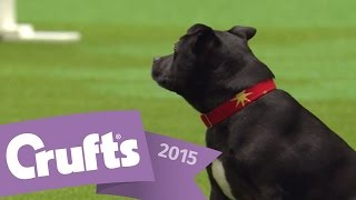 East Anglian Staffordshire Bull Terrier Display Team | Crufts 2015