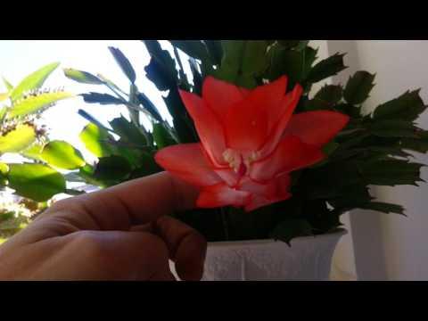 Цветение декабриста в марте