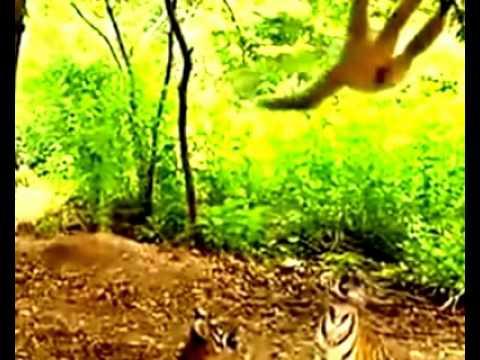 Monyet Iseng Ganggu Harimau Doovi