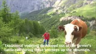 Brown Swiss Acend to the Alps During Summer