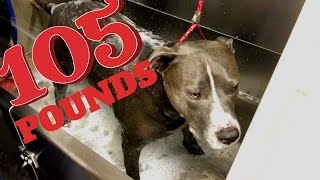 GROOMING A 105 POUND PIT BULL