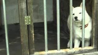 自家繁殖の北海道犬。 血統書名 蝦夷イコル 大きくなりました.