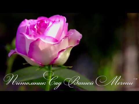 Роза Honore de Balzac. Обзор сорта. Питомник Сад Вашей Мечты