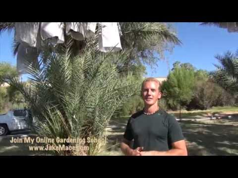 Growing Your Own DATES - I found a SECRET Date Tree Ranch...Delicious!