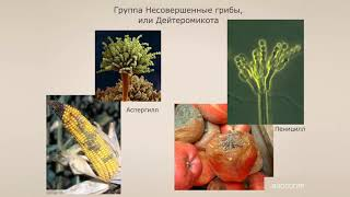 Группа Несовершенные грибы, или Дейтеромикота