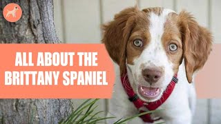 Brittany Spaniel: Dog Breed Info