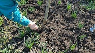 ЧУДО ЧЕСНОК ВЕСНОЙ - отличные всходы. Советы правильной подкормки,чтобы получить хороший урожай