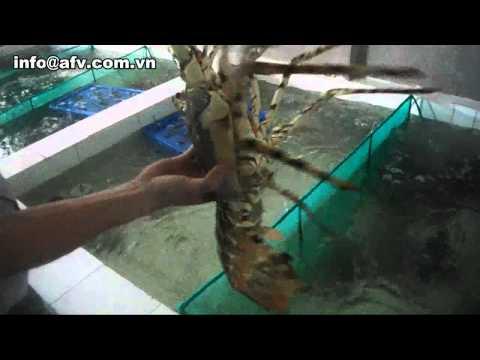 Ornate Spiny Lobster (Panulirus Ornatus ) || lobsterafv.com