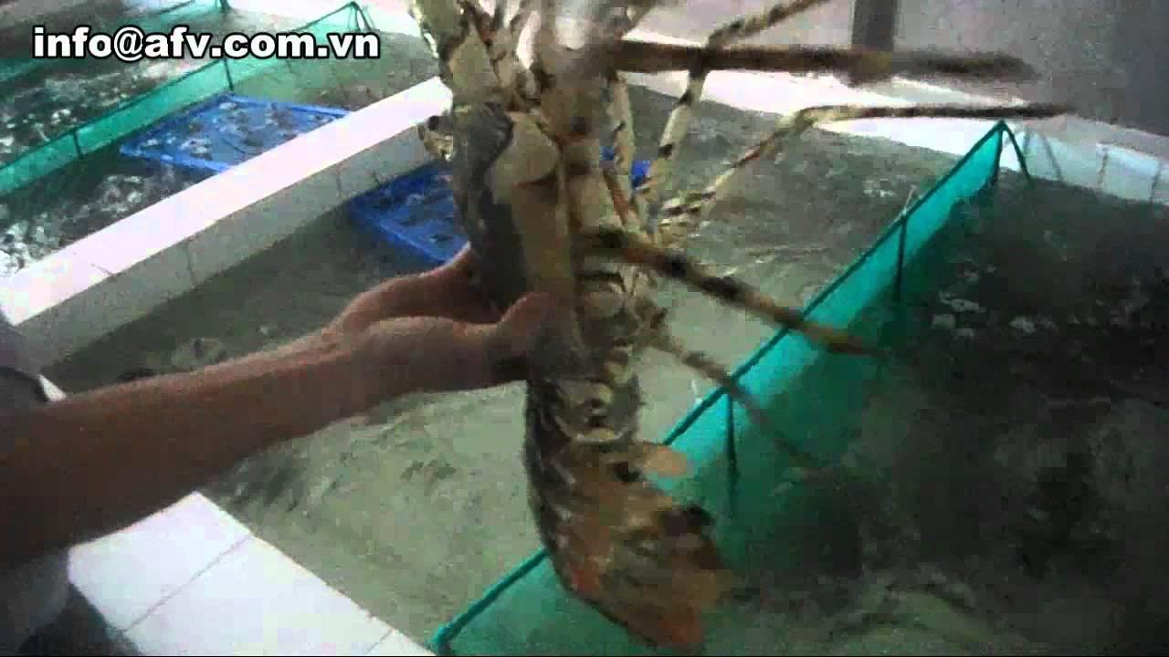Ornate Spiny Lobster (Panulirus Ornatus ) |