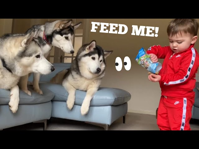 Baby Learning To Feed His 3 Huskies Giggling Will Make Everybody Smile! [TRY NOT TO SMILE]