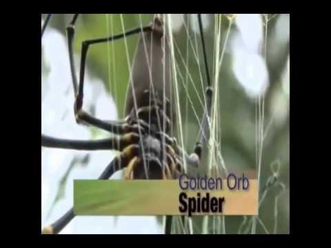 Aranha gigante comendo pássaro (Golden Orb)