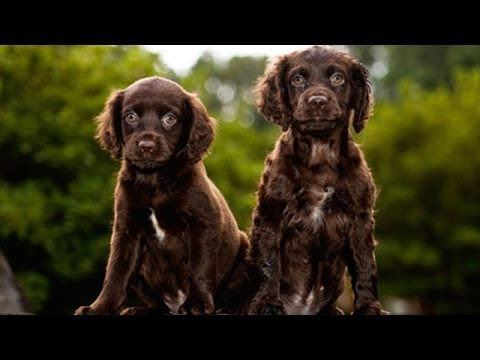 60 seconds of cute boykin spaniel puppies youtube