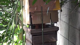 透明巣箱にミツバチを誘導します。巣箱を逆さまにしてその上に透明巣箱...