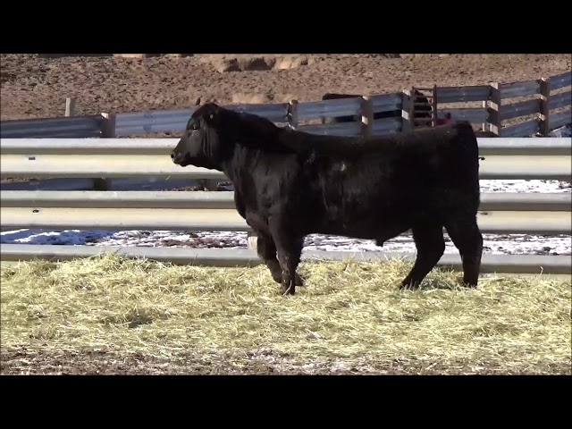 Connealy Angus Lot 127