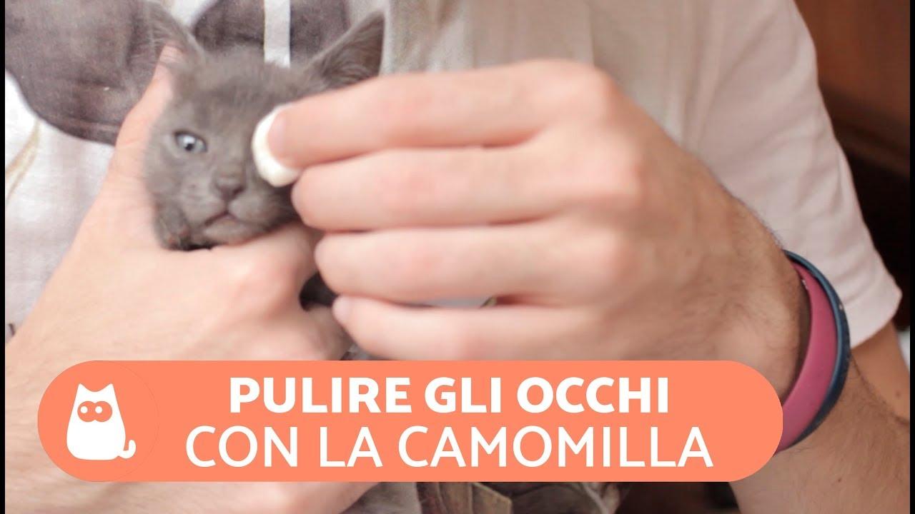 Pulire Gli Occhi Del Gatto Con La Camomilla Curare Gli Occhi