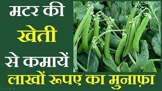 मटर की खेती कैसे करें    Peas (Matar) Farming    मटर की खेती कर के लाखो कमाए -