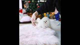 새하얀 화이트포메라니안 공주님 강아지동영상 Pomera…
