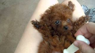 Kara, The Red Teacup Baby Poodle