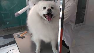 Before bath.Cocoa,Japanese spitz Spay.Owner's Ig @smile2525keichan8...