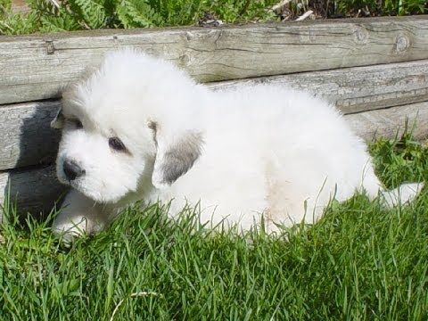 Great Pyrenees Puppies Dogs For Sale In Jacksonville Florida