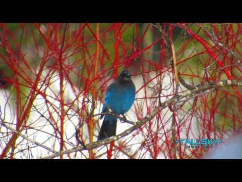 Steller's Jay (Pacific Northwest) HD(Called a