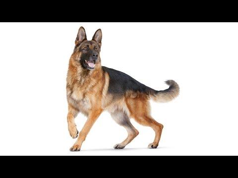 German Shepherd Dog Documentary ( Info, history, training tips)